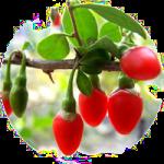 Goji, Gojibeeren, Lycii-Frucht, Gou Qi Zi, Lycii Fructus