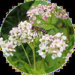 Echter Buchweizen (Fagopyrum esculentum)