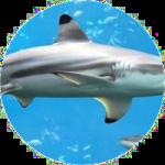 Haileberöl, Haifischöl, Shark Liver Oil